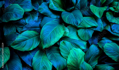 Photo leaves of Spathiphyllum cannifolium, abstract green texture, nature background,