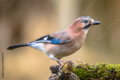 Curious Eurasian Jay on bright background Fototapet