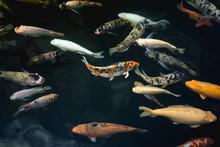 Colourful Koi Carps Swimming In The Pond