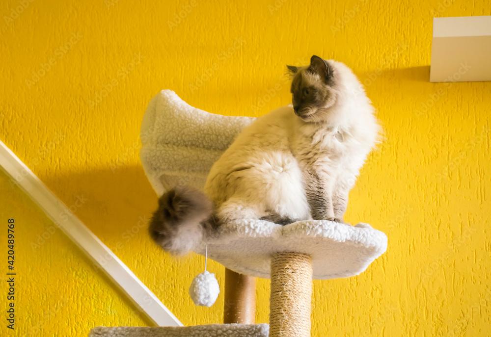 Fototapeta Cat sitting on scratching post. Ragdoll purebred car.