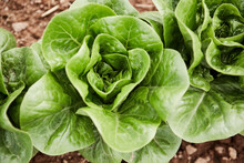 Lettuce Head Heart