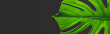 Monstera Leaf Dark Background With Copy Space. Tropical Exotic Background With Monstera Leaf And Text Space.