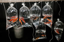 Golden Fish In Packet Sells In Market At Night Transparent Water