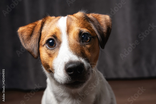 Fototapety, obrazy: Jack Russell Terrier at studio