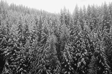 Snow Covered Pine Tree View