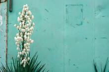 Yucca Shrub On A Turquoise Background