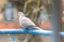 Eurasian Collared Dove - Türkentaube