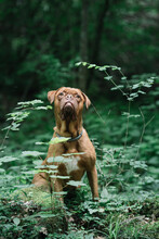 Brown American Bulldog Sitting Outdoors Among The Foliage
