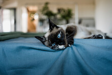 Amazing Cat With Blue Eyes Relaxing On Bed