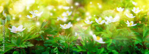 Dreamy white spring anemone flower bloom, grass, close-up against sunlight panorama Fototapeta