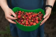 A Basket Of Strawberries In Female Hands
