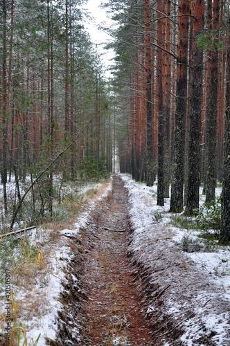 fire ditch in Winter autumn pine forest. Fototapeta