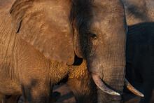 Close-up Of An Elephant In Golden Light