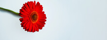 Minimalist Banner With A Red Gerbera Flower On A Blue Background