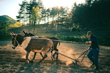 A Farmer With A Mule-drawn Plow At Sunset