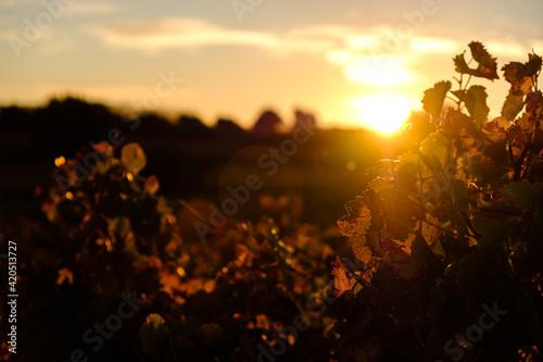 Obraz na plátně Couché de soleil sur les vignes