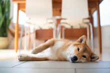 Shiba Inu Dog Portrait