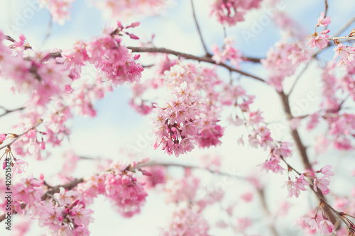Canvas-taulu Weeping cherry blossom tree in full bloom, pink branches and blue sky