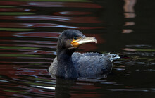 Closeup Shot Of A Black Cormorant Swimming In A Pond