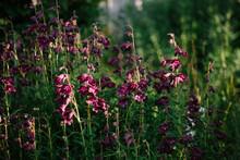"""Penstemon """"""""Raven"""""""" Flowers In The Early Morning Light."""