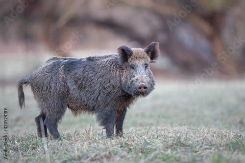 Vászonkép Wil boar walking in forest