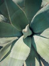 Aloe Vera Plant In Tel Aviv, Israel