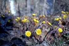 First Spring Flowers. Flowers Of Tussilago Farfara, Beautiful Yellow Flowers