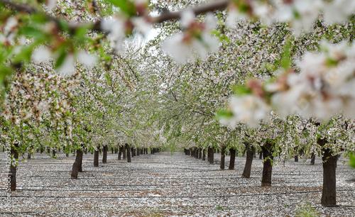 Árboles de flor de almendro en primavera