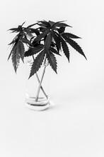 Marijuana Leaves In Black And White