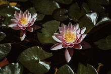 Dainty Pink Water Lily With Green Pads