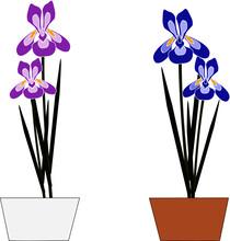 2種類の花菖蒲