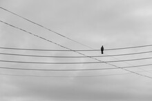 Pigeon On Power Cables