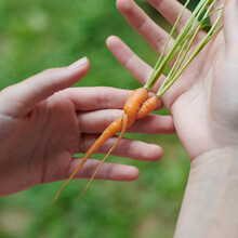 Twisted Carrots In Hands