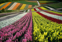 Beautiful Flower Field, In Japan