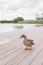 Duck On Wooden Pier Near Pond