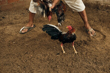 Rooster Being Trained For A Fight