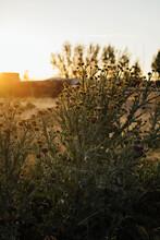 Thistles At Sunset