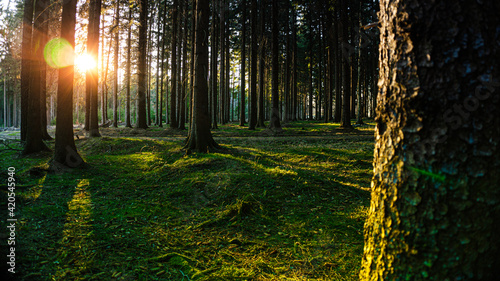 Fotografia The sun shines its beautiful rays among the tree trunks in the forest