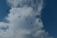 Pelicans In The Sky.