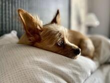 Little Dog On Pillow