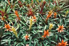 Pineapple Flower Plant