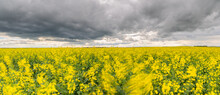 Storm Over Rapeseed Field