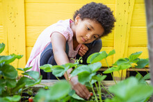 Pretty Girl With Short Curly Kinky Hair Picking Strawberries From Her Backyard Garden