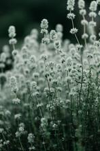 Thyme Wild Plant Details