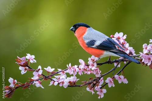 Canvastavla Male eurasian bullfinch (Pyrrhula pyrrhula) on a branch with pink flowers on a beautiful day in may