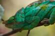 A Green Chameleon Looks Backwards
