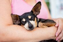 Foxterrier Dog Sleeping On Lap