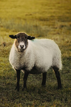 Black Headed Sheep With Fluffy And Soft Woolen Fur. Sheep Is Watching To The Camera. Sheep Is Relaxed Eating Grass .