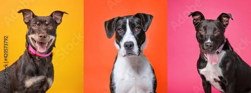 Fototapeta studio shot of three shelter dogs on an isolated background obraz