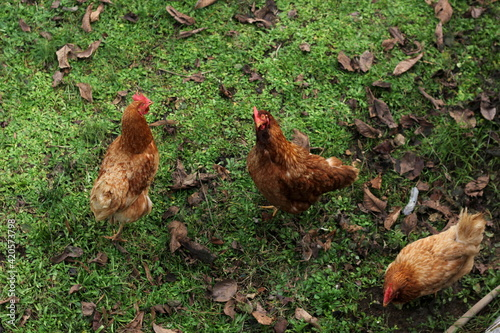 Fotografija brown and orange chickens on green grass